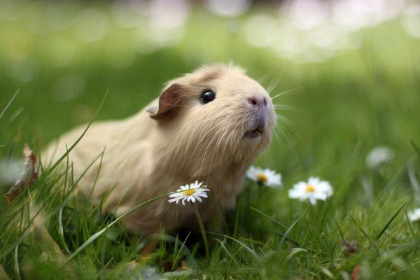 """据美国《赫芬顿邮报》6月19日报道,近日,一组名为""""Booboo与她的朋友们""""的豚鼠萌照在网络走红。据悉,这是由美国一家艺术网站的摄影师拍摄的。 这只两岁大的小豚鼠与她的小伙伴们无疑为豚鼠同类进入时尚圈铺平了道路。在该系列照片中,豚鼠们或戴着呆萌黑框眼镜、或头顶一朵白花用大大的黑眼睛盯着镜头。有这样精彩萌翻众人的照片,点击率自然居高不下。(周薇薇朱盈库) align=""""center"""">"""