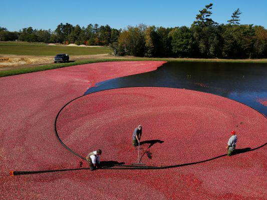 美媒称美蔓越莓成中国消费者新宠 美国种植者迎商机