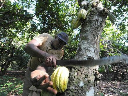 英媒:全球变暖威胁可可树 巧克力或30年后绝迹