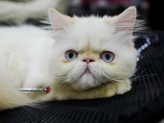 俄罗斯莫斯科的萌猫总动员