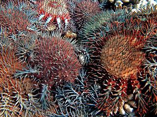 """别低估了柔弱小动物 这些海星将""""吞噬""""大堡礁?"""