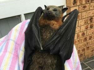 澳高温天气令大量蝙蝠