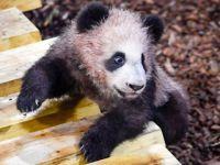 """大熊猫宝宝""""圆梦""""正式与法国公众见面"""