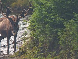 加拿大斥巨资把鹿