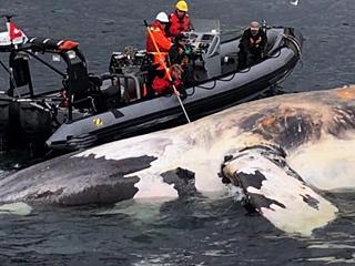 加拿大限制航速保护鲸鱼