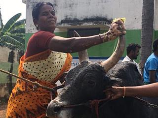 为了公牛不结婚的印度女子