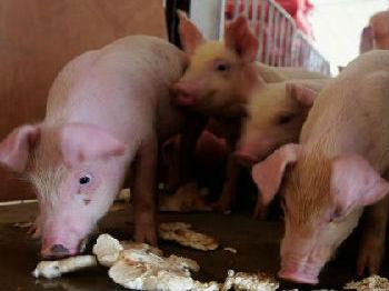 英媒:中国养猪业向工业化转型 以提高效率和降低成本