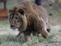 逃离中东战地 两头非洲狮定居南非