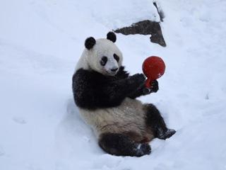 旅芬大熊猫适应新环境