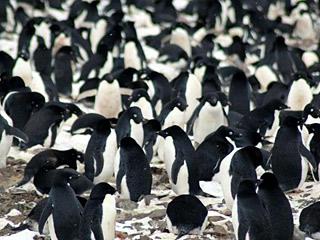 南极发现企鹅超级大种群