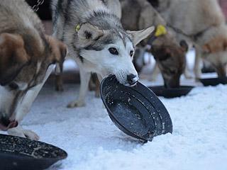 """备受争议:这场传奇的狗拉雪橇比赛将成""""过去式""""?"""
