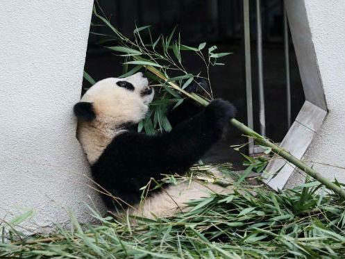 西媒:中国将建大熊猫国家公园 规模是美国黄石公园三倍