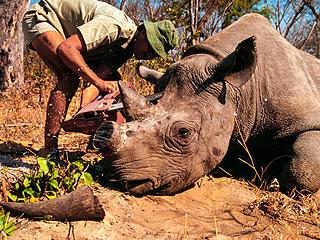 即将消失的动物:白犀牛