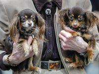 德国奥芬堡举行国际纯种狗展