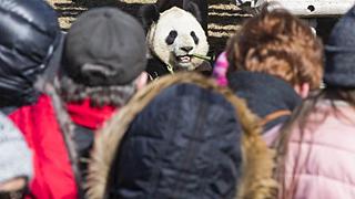 """多伦多动物园举行""""向大熊猫道别""""活动"""