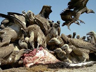 猛禽没被射杀 却被猎人毒死