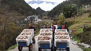 重庆:香菇产业助推乡村脱贫