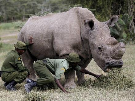 美媒:世界上最后一头北方白犀牛死亡