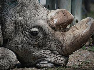 最后一头雄性白犀牛死了
