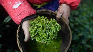杭州西湖龙井采摘忙 产量平稳品质提升