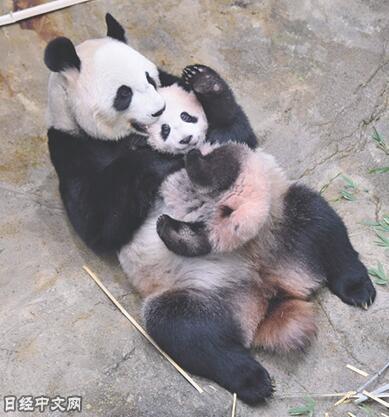 """大熊猫宝宝""""香香""""和妈妈""""真真""""(图片来自日经中文网)"""