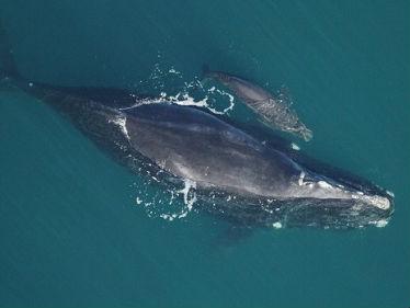 """""""灭绝的开始""""?濒危露脊鲸近30年首次没有新生幼崽"""