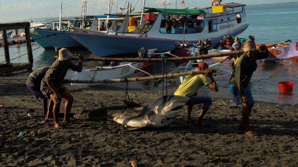 澳门国际金沙唯一:一条小鲨鱼只卖30块!这个村庄因出口鲨鱼出名了