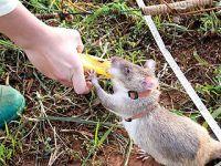 工兵挖地雷 巨鼠在行动