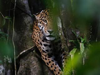 巴西美洲豹新技能树梢栖息