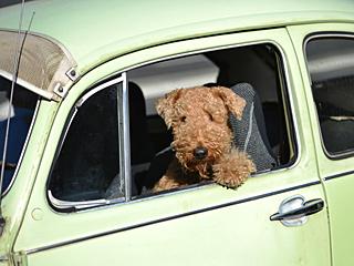 悉尼竟然呼吁让小狗坐公交
