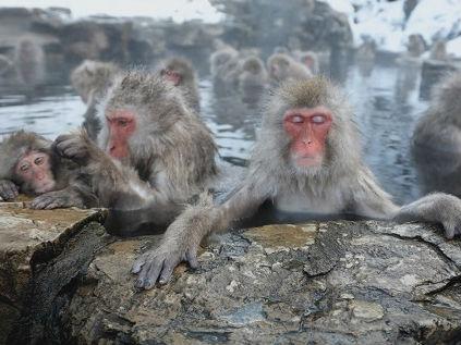 美媒:日本雪猴泡温泉是为减压 母猴泡的时间更长