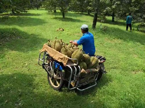 天猫一分钟卖出8万个泰国金枕头榴莲 香蕉大米也要来