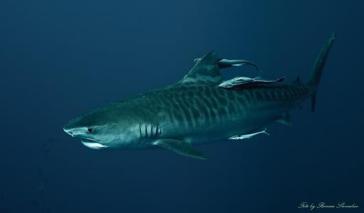江苏:快3专家推荐号码:倒霉还是幸运?他曾遭毒蛇、黑熊和鲨鱼袭击但都成功脱险
