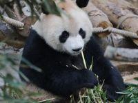 """贵阳:两只""""海归""""大熊猫和公众见面"""