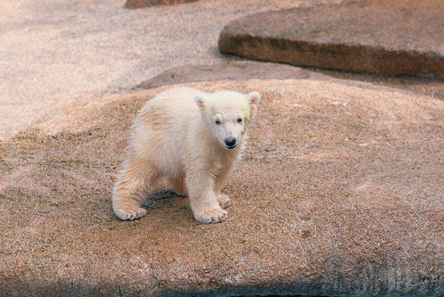 世界上首只在热带出生的北极熊被安乐死