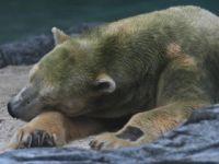 世界首只在热带出生的北极熊被安乐死