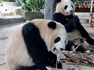 双胞胎大熊猫厦门安家