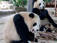 """双胞胎熊猫""""思念""""""""思筠筠""""厦门安家"""