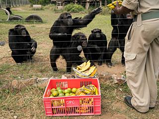 由于人类,黑猩猩进了避难所