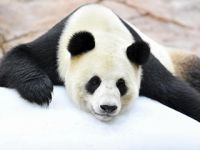大熊猫趴冰消暑