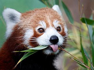 三只中国小熊猫成网红