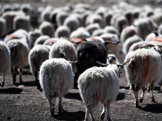西藏牧区千年习俗:羊净身