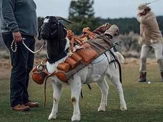 山羊也能当高尔夫球童?