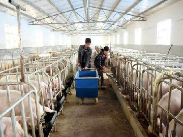 英媒关注中企尝试高层养猪场:如果成功或可影响整个亚洲