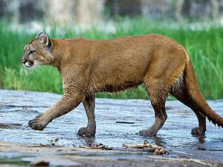 美山地车手突遭美洲狮捕杀