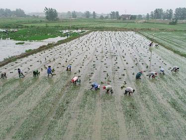 美媒:古代中国农民为东南亚带去水稻与农业 播下变革种子