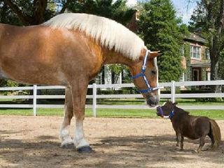 当世上最高马遇上最小马