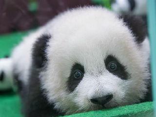 """马来西亚第二只""""土生""""熊猫宝宝亮相"""