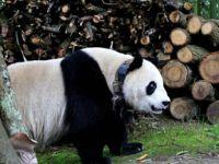 """汶川大熊猫下山到村民家""""做客"""""""