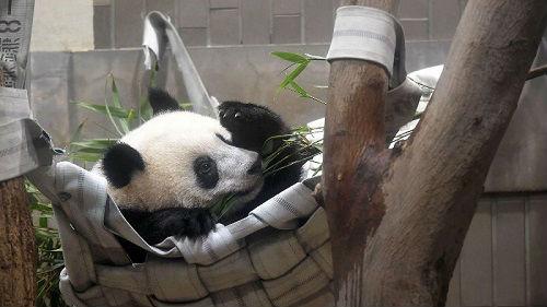 """熊猫""""香香""""东京过周岁 游客为一睹芳容又要排长队了"""